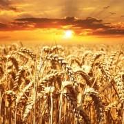 wheat-field-640960_960_720-680x510